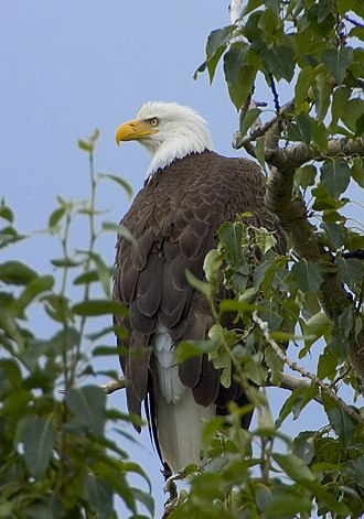 Fauna of the United States - The bald eagle is the national bird of the United States and appears on its Great Seal. The bald eagle's range includes all of the contiguous United States and Alaska.