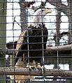Haliaeetus leucocephalus - Syracuse Zoo.jpg