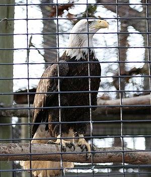 Injured Bald eagle (Haliaeetus leucocephalus) ...