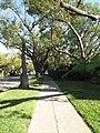 Hancock Park trees along 6th St.jpg