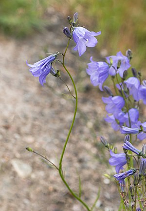 Harebells by a road