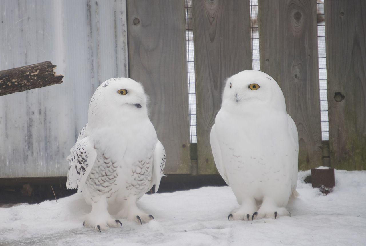 1280px-Harfang_des_neiges_-_Snowy_owl_%2825478289536%29.jpg