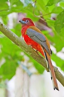 Trogon family of birds