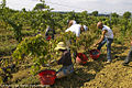 Harvesting grapes in TORGIANO.jpg