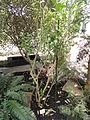 Hebe macrocarpa var. macrocarpa - Palmengarten Frankfurt - DSC01904.JPG