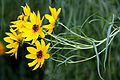 Helianthus salicifolius (8000836352).jpg