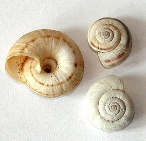 Umbilicus (mollusc) - The umbilicus is clearly visible on the underside of the left shell of these three shells of Xerolenta obvia