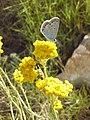 Helichrysum italicum-smilje u cvatu - panoramio.jpg