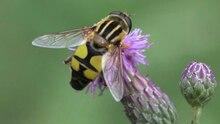 File:Helophilus trivittatus, male.ogv