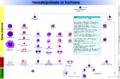Hematopoiesis (human) diagram.png