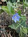 Hepatica nobilis blooming.JPG