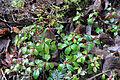 Hepatica nobilis f. rosea.jpg