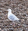 Herring Gull 002.JPG