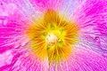 Hibiscus (14464681308).jpg