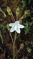 Hibiscus lobatus - Lobed Leaf Mallow 10.JPG