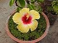 Hibiscus rosa sinensis-19-yercaud-salem-India.jpg