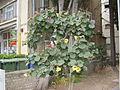 Hibiscus tiliaceus-(Sitriya), in Ramat gan.JPG