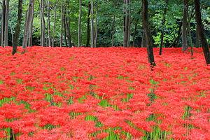 Hidaka, Saitama -  Kinchakuda Spider Lily