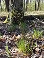 Hierochloe australis sl60.jpg