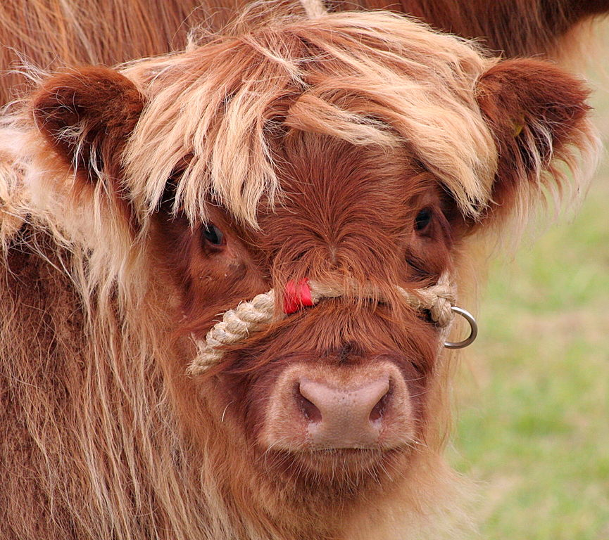 Image Result For Baby Calf Coloring