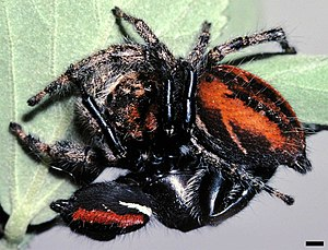 Mating male and female Phidippus clarus jumpin...