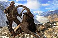 Himalayan Ibex World Record.jpg