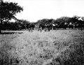 Hockeyspelande indianer. Skogen består av algarroboträd. Rio Pilcomayo, Gran Chaco. Bolivia - SMVK - 004657.tif