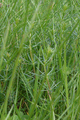 Hoher Vogelsberg Hoherodskopf Equisetum arvense.png