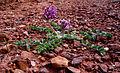 Holmgren milkvetch (Astragalus holmgreniorum) (6307393246).jpg