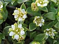 Honckenya peploides upernavik kujalleq 2007-07-24 2.JPG