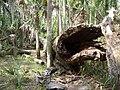 Hontoon Island State Park fallen01.jpg