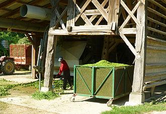 Žalec - Harvesting hops at the end of August in Žalec