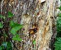 Hornisse auf Baumstumpf.jpg