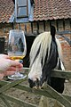 Horse has no interest in cider at Somerset Cider Brandy Company (35851615230).jpg