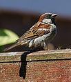 House Sparrow (3).jpg
