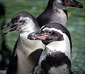 Humboldt Penguins2.jpg
