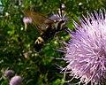 Hummingbird Hawk Moth (1297409713).jpg