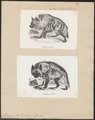 Hyaena striata - 1700-1880 - Print - Iconographia Zoologica - Special Collections University of Amsterdam - UBA01 IZ22200061.tif