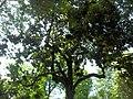 Hydrangea orto botanico milano 07.JPG