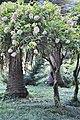 Hydrangea paniculata Pee Gee Hydrangea იაპონური ჰორტენზია.JPG