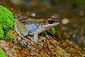 Hylarana nigrovittata, Dark-sided frog - Huai Yang Waterfall National Park (29956135995).jpg