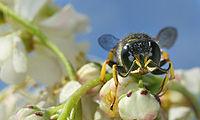 Hymenoptera front.jpg