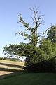 ID 752 Quercus robur Weinitzen.JPG
