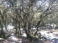 IFRANE TREE.jpg