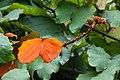IMG 8229 ลักษณะใบ ย่านดาโอ๊ะ (Golden Leave Bauhinia) Photographed by Peak Hora.jpg