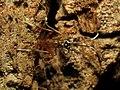 Ichneumon Wasp (31791563515).jpg