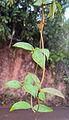 Ichnocarpus frutescens 03.JPG