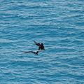 Ile Aride - Oiseau (36).JPG