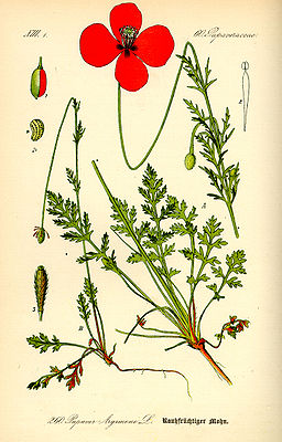 Sand-Mohn (Papaver argemone), Illustration