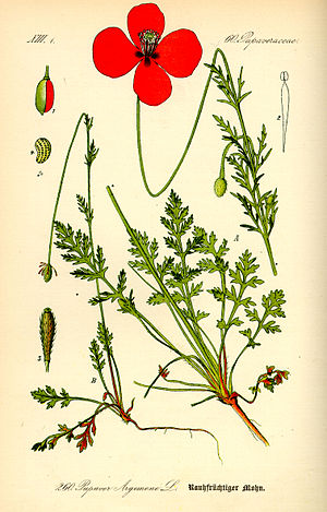 Papaver - Illustration of Papaver argemone